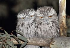 Tawny Frogmouths. A mysterious nocturnal bird. Regulary mistaken for an Owl, they are part of the Night Jar family. Interestingly, they are seldom spotted by day even though they almost always sleep at the base or in low level branches of trees. Their excellent camouflage matches our Australian Eucalypt trees safeguarding them against would be predators. #thingstodogoldcoast #scenicdaytours #goldcoastdaytours