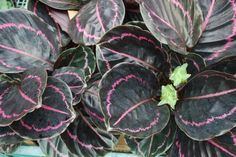 A black-leaved version of Calathea - would be striking in summer plantings