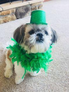 Shih Tzu St Patrick's Day!! #shihtzu