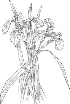 Blue Flag Irises or Iris Versicolor Wildflower