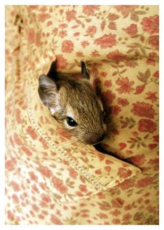 Ham and Sam use to be this small :3  Animal photography: Degu by Lina Gavėnaitė, via Behance