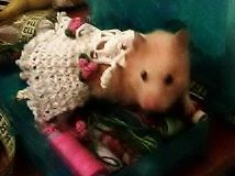 Хомячок в платьице. Humster ib a dress. #humsterinadress #humster #dressuphumster #lovelyhumster