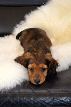 ZIVA 8 week old long hair miniature Dachshund