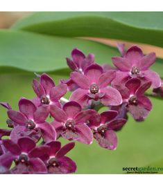 Acid Loving Plants, Rare Orchids, Mother Plant, Orchid Plants, Blooming Plants, Small Plants, Borneo, Evergreen, House Plants