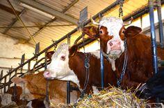 Allevamento da latte Nisco Antonio  Cresciuti nel rispetto dell' animale e dell' ambiente, dove si respira aria contadina e la vera natura