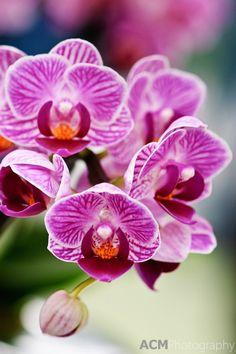 Phalaenopsis Orchid 'Vivian' Keukenhof Spring Tulip Gardens, Lisse, The Netherlands.  Alison Cornford-Matheson.  Amazing! =)