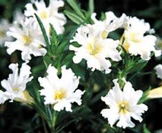 Mimulus 'Jelly Bean White' PP11,969atSan Marcos Growers SE bed  & Jade bed behind spa