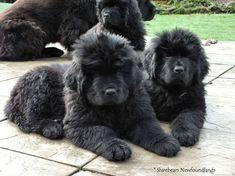 Newfoundland Dogs, Nova, Favorite Things, Strength, Training, Puppies, Babies, Dreams, Gallery