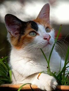 """llbwwb: """" Time for Animal Hour:) Belle, momentarily distracted by aircraft flying overhead (by arifaqmal) """" Cute Cats And Kittens, I Love Cats, Crazy Cats, Cool Cats, Kittens Cutest, Beautiful Cats, Animals Beautiful, Gato Calico, Calico Cats"""