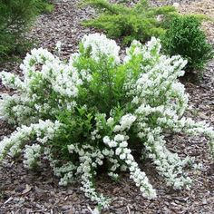 Deutzia gracilis 'Nikko' | Gasper Landscape Design & Construction