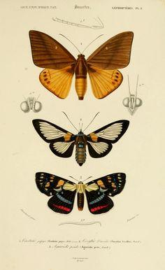 Lépidoptères