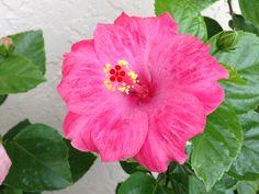 Love Hibiscus
