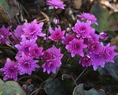Hepatica nobilis Rubra Plena