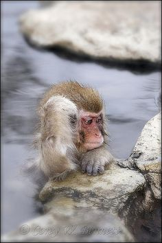 Snow monkeys enjoying outside hot spring in Japan