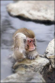 Snow monkeys enjoying outside hot spring in Japan