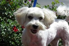 Meet Gigi (LOVING and GENTLE!), a Petfinder adoptable Maltese Dog   Santa Monica, CA   Gigi is 1.5 years old, and she has a darling disposition. She is extremely sweet, gentle, loving,...