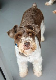 Major is a 2 year old, 27lb. Schnauzer. He was surrendered to us by his former owner and we believe that he may not have received many guests.  So, he is a bit wary at first.  It doesn't take him long to get comfortable as long as you give him the time.  He will then begin to paw at you and beg for your love. Due to his sensitive demeanor we think he would do best in an adult only home.