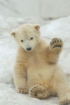 ours polaire, ourson mignon