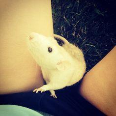 My dumbo rat named Dexter