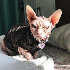 Loki, Gato Munchkin, Cat In Heat, Clumping Cat Litter, Angry Cat, Cats For Sale, Owning A Cat, Grumpy Cat, Cat Cat