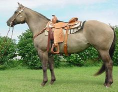quarter horse roping | Name: Storm In July Breed:Quarter Horse Age:6 Gender:Mare Color:Silver Grulla