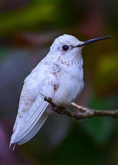 Leucistic White Hummingbird by Richard Marquardt