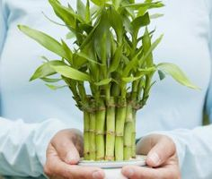Attract Wealth with Feng Shui Tips and Cures: Feng Shui Lucky Bamboo for Wealth