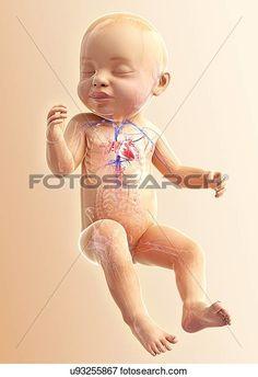 Arquivos de Ilustração - bebê, sistema respiratório, artwork u93255867 - Busca…