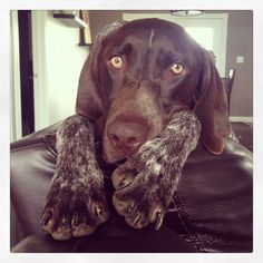 "German shorthair, I get that same look every evening, every morning, from, ""her"" chair!"