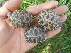 Keeping the Radiated Tortoise