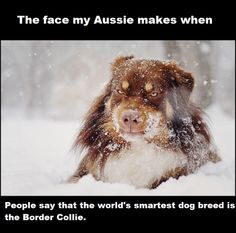We all know Aussies are the greatest breed ever.