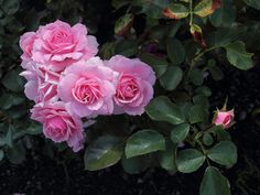 Pink Roses by NatureShotsbyAnn on Etsy, $20.00