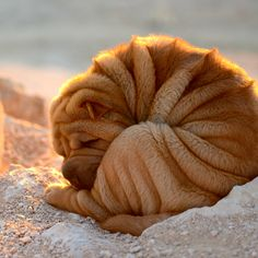 Shar-Pei Dog by Willy Guo on 500px