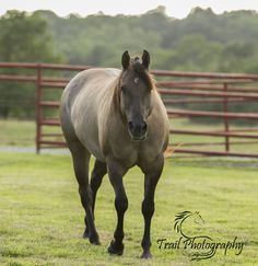Grulla Quarter Horse (Sage) Nu Star In Hollywood | Trail Photography © 2015