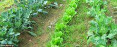 Ημερολόγιο του κηπουρού Celery, Vegetables, Garden, Plants, Tape, Garten, Lawn And Garden, Vegetable Recipes, Gardens