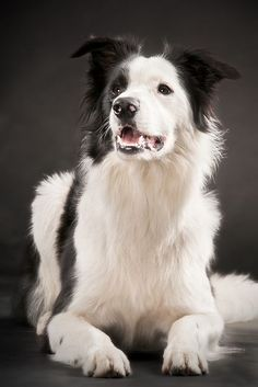 Border Collie... Beautiful coloring