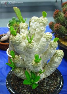Euphorbia poissonii | spineless form