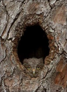 Frans de Waal - Public Page 6 hrs · OWLET Eastern Screech Owlet investigating its new view, emerging from the dark cavity in which it was raised for 3 weeks. The owlet climbed 7 feet to get to this vantage point. Photo by Marina Scarr Owl Photos, Owl Pictures, Owl Bird, Pet Birds, Screech Owl, Barred Owl, Great Horned Owl, Beautiful Owl, Baby Owls