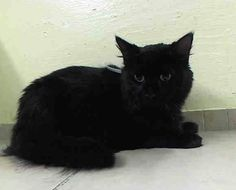 ***Gone but not forgotten!*** 11/22/14 Manhattan Center  My name is BRUCEY. My Animal ID # is A1019786. I am a female black domestic mh mix. The shelter thinks I am about 3 YEARS old.  I came in the shelter as a STRAY on 11/05/2014 from NY 10456, owner surrender reason stated was OWNER DIED. http://www.urgentpetsondeathrow.org/cats/tbd-cats/