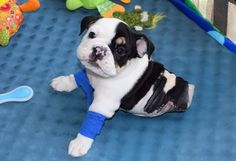 This Cute Pup Has Only Half His Body, But He'll Win Over Your Whole Heart