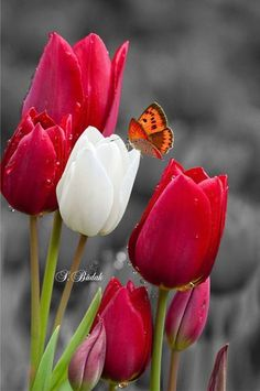 Noor - My site Red Tulips, Tulips Flowers, Flowers Nature, Exotic Flowers, Amazing Flowers, My Flower, Daffodils, Flower Power, Beautiful Flowers
