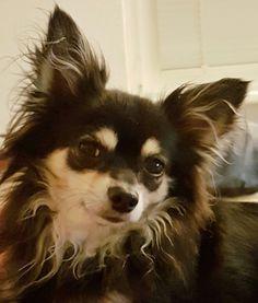 Charly  Chihuahua #chihuahualove #chihuahuas #dogs