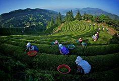 Campos de te en Corea
