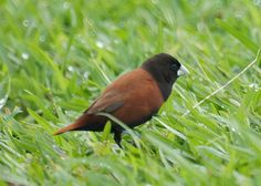 Chestnut Mannikin (Chestnut Munia) CA Bird Photos: Birds of California: January 2014