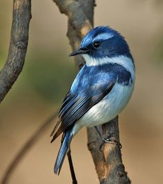 Ultramarine flycatcher,