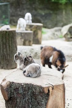 Thirteen exuberant Dwarf Goat kids are delighting visitors of Zoo Basel! The springtime births began on March and the father to all of the 'kids' is two-year-old Wingu. The movements of the young Dwarf Goats are a bit clumsy. Dwarf Goats, Two Year Olds, Basel, Spring Time, Panther, Fox, Kids, Animals, Projects