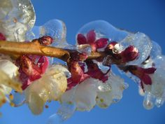 The sun melts the frozen spring buds of fruit blossom... Central Otago. http://www.centralotagonz.com/what-to-do