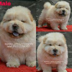Dijual Anjing Chow Chow, Jual Chow Chow Puppies, Lokasi: Bandung, Minat Hub.: 087722260495,  No. Iklan: 1812, Informasi lebih detil silakan kunjungi iklan pada link di bawah ini. www.pettoto.com/jual-chow-chow-puppies-bandung
