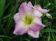 Daylily Absolute Treasure Live plant by ommat on Etsy, $9.50