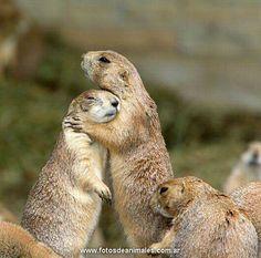 alpine marmot | perros-de-la-pradera_02
